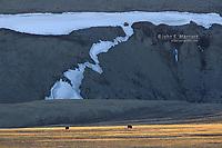 Muskox on Somerset Island, Nunavut