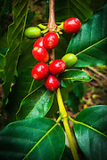 Red Kona coffee cherries on the vine, Captain Cook, The Big Island, Hawaii USA