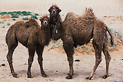 Bactrian camel (Camels bactrians) babies<br /> Southern Gobi Desert<br /> Mongolia