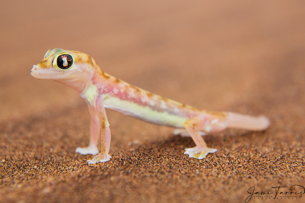 A webfooted gecko (Pachydactylus range ) licks his eye to remove sand and for moisture, Skeleton Coast, Namibia,Africa
