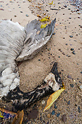 Dead Canada goose (Branta canadensis) October, Lake Superior shoreline, Porcupine Mountains Wilderness State Park, Ontonagon County, Upper Peninsula, Michigan, USA