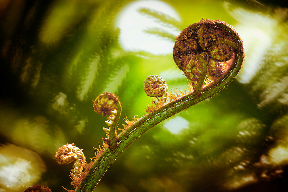 The 'silver fern' (Cyathea dealbata) is a native plant from New Zealand. The unfurling fern frond, or koru in Maori, is a symbol of new beginnings.
