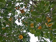 tree with oranges