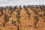 Chateau Villerambert-Julien near Caunes-Minervois. Minervois. Languedoc. Vines trained in Gobelet pruning. Old, gnarled and twisting vine. Terroir soil. France. Europe. Vineyard.