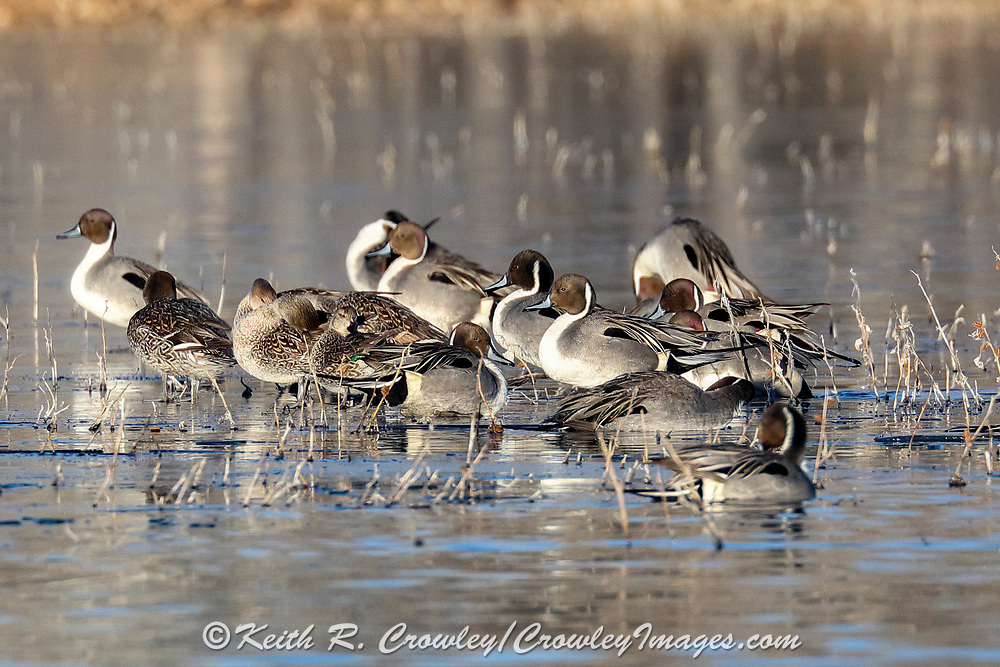 Pintails and other ducks rest on skim ice as others swim in open water