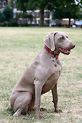 This is Sammy, a young female Weimaraner