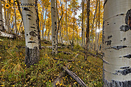 Aspen grove in autumn along Last Dollar Road in the Uncompahgre National Forest, Colorado, USA
