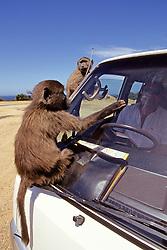 Baboons Climbing On Safari Bus