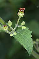 GREEN FIGWORT Scrophularia umbrosa (Scrophulariaceae) H to 70cm. Upright, hairless perennial. Grows in damp woodland and shady places. FLOWERS are 1cm long and greenish with a maroon upper lip; borne in open spikes (Jun-Sep). FRUITS are greenish capsules, recalling miniature figs. LEAVES are oval-triangular. STATUS-Local and generally scarce, mainly in central and northern Britain.