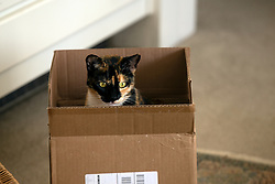 Zelda the cat investigates a new box in the living room of her Oakland, Calif. home, Tuesday, July 14, 2020. (Photo by D. Ross Cameron)
