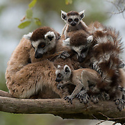 Ring-tailed lemur family group with babies. Berenty Reserve, Madagascar