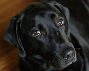 Image of a black lab