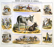 The Donkey:  Used for milk; As a pack animal; for  riding; as a draught animal: as drum skins.  Hand-coloured lithograph by Waterhouse Hawkins published London c1850. From 'Graphic Illustrations of Animals and Their Utility to Man'