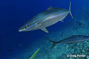 rainbow runner, rainbow yellowtail or Hawaiian salmon, Elagatis bipinnulata, Shark Reef, Viti Levu, Fiji, South Pacific