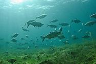 School of Gizzard Shad, Lake Michigan<br /> <br /> Christopher Morey/Engbretson Underwater Photo