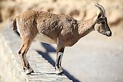 Female Nubian Ibex (Capra ibex nubiana), standing on edge of the Ramon crater, Negev Desert, Israel