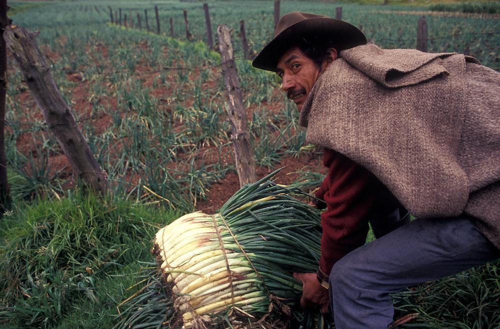 Harvesting onion, Laguna La Tota, Boyaca