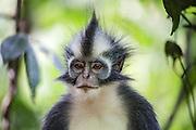 A front-view portrait of a Thomas Leaf-monkey (Presbytis thomasi), a semi-arboreal monkey species endemic to northern Sumatra, Sumatra, Indonesia