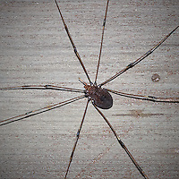 Daddy Longlegs Guarding my Front Door. Actually Harvestmen a type of arachnids, but not a real spider. Image taken with a Nikon D200 and 200 mm f/4 macro lens (ISO 400, 200 mm, f/11, 1/30 sec) with Flash.