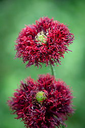 Papaver somniferum 'Black Swan' - Fringed opium poppy