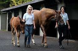 Crystal Gaze, in foal to Frankel (right) is lead around the pre-parade ring alongside her as of yet unnamed colt foal by Frankel during the Goffs London Sale photocall at Kempton Park Racecourse, Surrey.