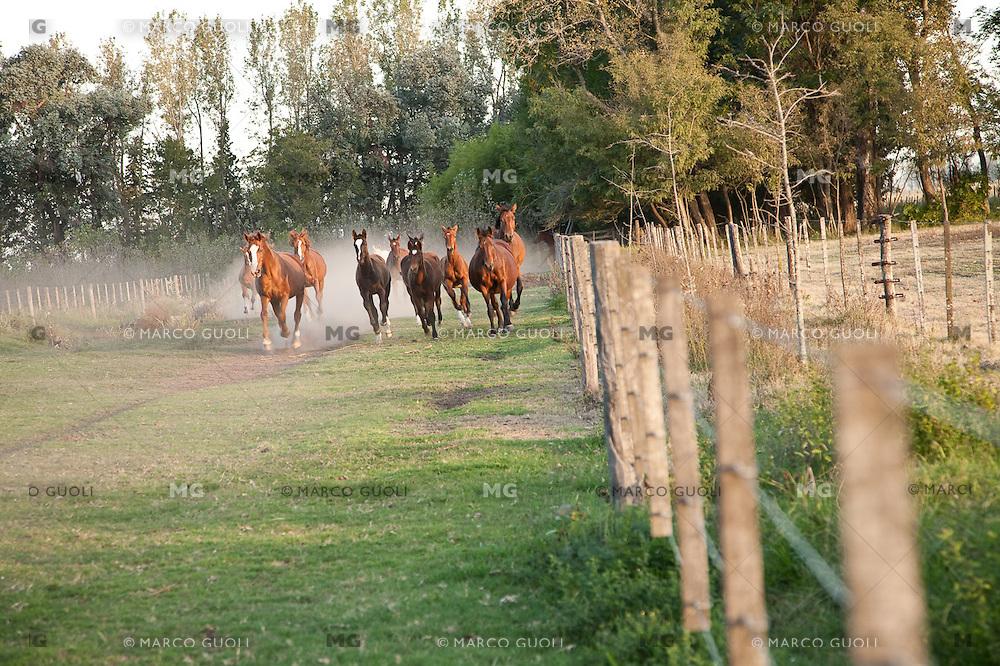 CABALLOS EN UNA ESTANCIA, CARMEN DE ARECO, PROVINCIA DE BUENOS AIRES, ARGENTINA