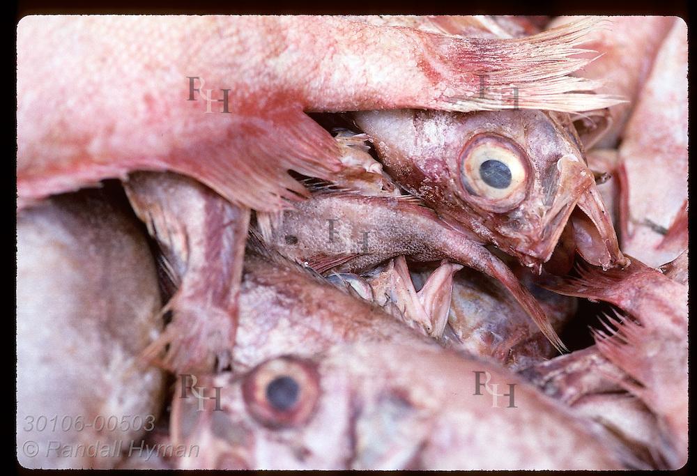Close-up of freshly-caught ocean perch, or redfish, piled in bin on docks of Reykjavik. Iceland