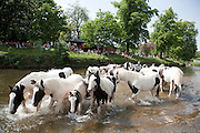 A large group of black and white Cobs in the river Eden