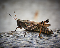 Spur-throated Grasshopper. Image taken with a Nikon 1 V3 camera and 70-300 mm VR lens (ISO 400, 300 mm, f/5.6, 1/500 sec).