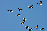 © 2007 Randy Vanderveen, all rights reserved.Grande Prairie, Alberta.A flock of Canada geese wing their way through the South Peace skies as they prepare for their journey to wintering grounds in the South.