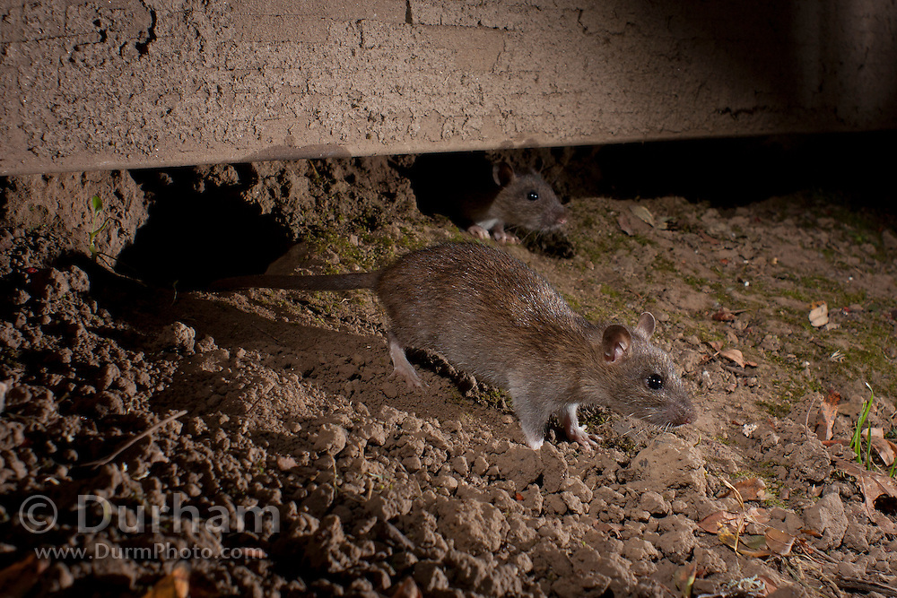 Norway rat(s) (Rattus Norvegicus) emerging from a rat hole in a suburban yard at night. Portland, Oregon. © Michael Durham / www.DurmPhoto.com