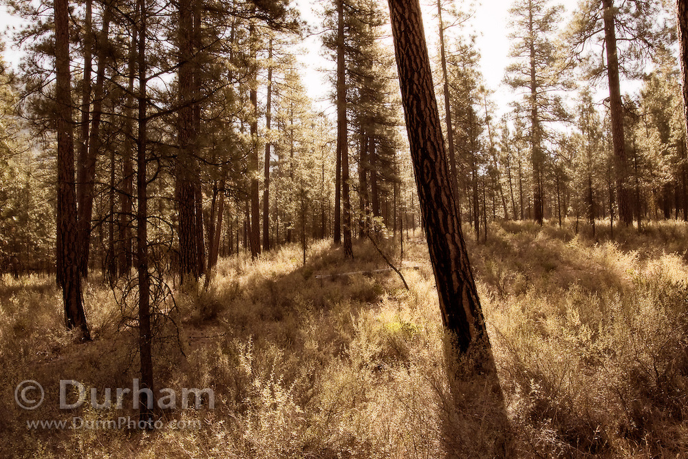 Ponderosa forest and dry undergrowth in the Deschutes National Forest, Oregon.