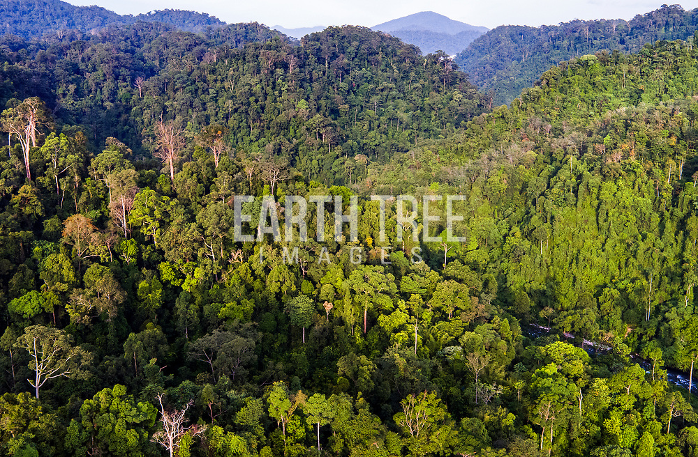 An aerial view of pristine rainforest of the Leuser ecosystem. The Leuser Ecosystem is an area of forest located in the provinces of Aceh and North Sumatra on the island of Sumatra in Indonesia. Covering more than 2.6 million hectares it is one of the richest expanses of tropical rain forest in Southeast Asia and is the last place on earth where sumatran elephant, sumatran rhinoceros, sumatran tiger and sumatran orangutan are found within one area. It has one of the world's richest yet least-known forest systems, Sumatra, Indonesia. Photo: Paul Hilton Forest cover, Leuser Ecosystem, Sumatra, Indonesia. The Leuser Ecosystem is home to the largest extent of intact forest landscapes remaining in Sumatra and it is among the most biologically abundant landscapes ever described. Photo: Paul Hilton for Earth Tree Images