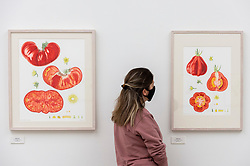 © Licensed to London News Pictures. 17/09/2021. LONDON, UK. A staff member views illustrations of Solanum lycopersicum by Francesca Ross.  Preview of the RHS Botanical Art & Photography Show 2021 at the Saatchi Gallery.  More than 200 pieces featuring an array of scientifically accurate botanical illustrations by 15 artists and portfolios from 19 photographers are on show September 18 to October 3, 2021 in an event that runs parallel to the RHS Chelsea Flower Show, hosted for the first time in Autumn.  Photo credit: Stephen Chung/LNP