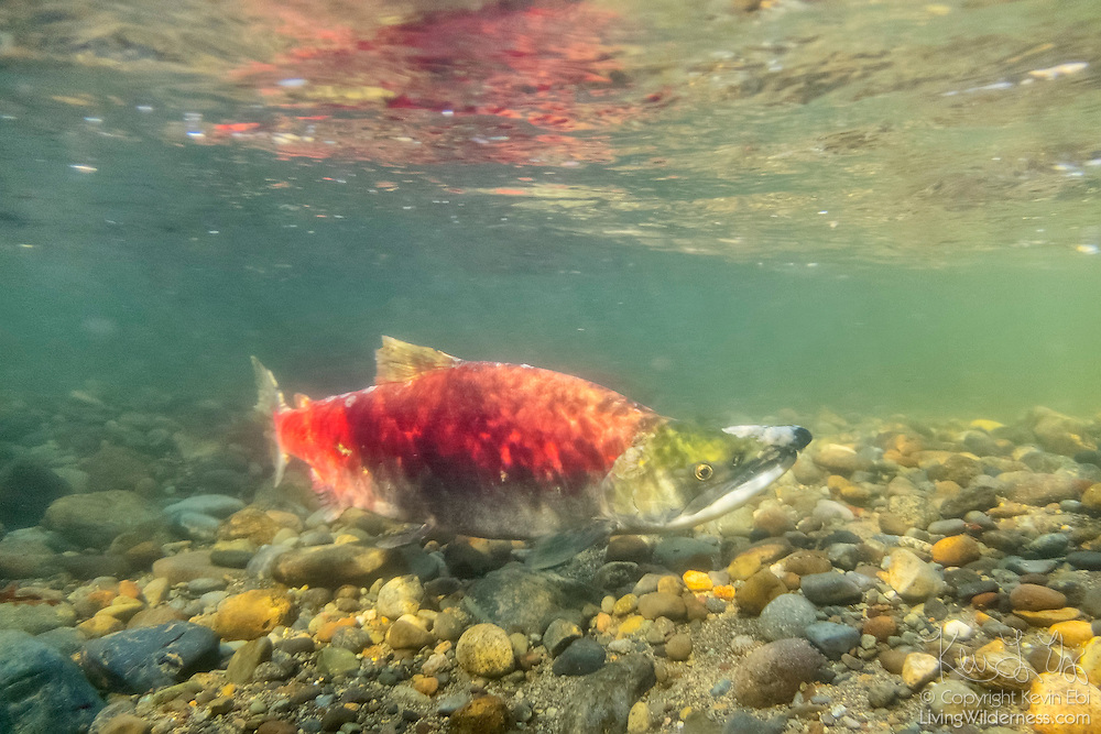 A sockeye salmon (Oncorhynchus nerka) showing its red breeding coloration, swims up the Cedar River in Renton, Washington toward its spawning grounds. Sockeye salmon are blue-tinged and silver when they live in the ocean; their bodies turn red and their heads green when they return to freshwater rivers to spawn.