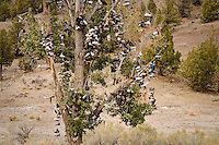 Mitchell Oregon shoe tree-an oddity of whimsy, a practice of the folk art or folk sport of launching shoes into a tree.  This rural cottonwood tree housed hundreds of shoes on its branches.
