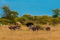 Herd of ostriches, Nxai Pan National Park, Botswana.