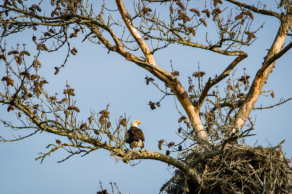 A bald eagle stands watch as its babies sleep in their nest in a dead pine along the May River.