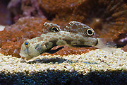 The Crab-eye Goby; Signigobius bicellatus feeds by filtering food items from the gravle.