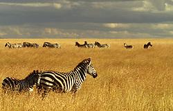Africa, Kenya, Masai Mara National Reserve, Plains or Burchell's Zebra (Equus bruchelli) grazing in golden grass