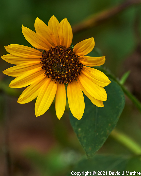 Sunflower. Image taken with a Nikon D850 camera and 70-300 mm VR lens.