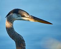 Great Blue Heron (Ardea herodias). Black Point Wildlife Drive. Merritt Island National Wildlife Refuge. Image taken with a Nikon D3x camera and 500 mm f/4 VR lens.