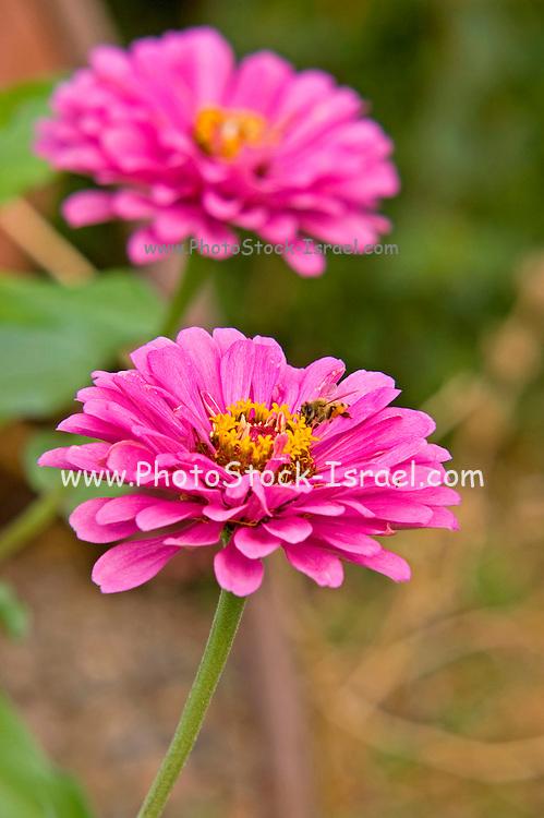 Mauve Chrysanthemum