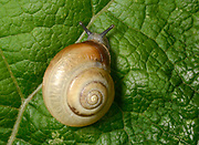 Kentish Snail (Monacha cantiana) an air breathing land snail crawling over a leaf in a Norfolk woodland habitat.