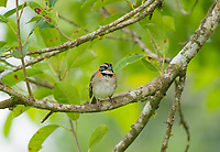Rufous-collared Sparrow, Zonotrichia capensis, perched in a tree in Monteverde, Costa Rica