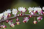 Blossoms on a Bugbane (Cimicifuga) plant