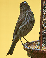 House Finch. Image taken with a Nikon D5 camera and 600 mm f/4 VR lens.