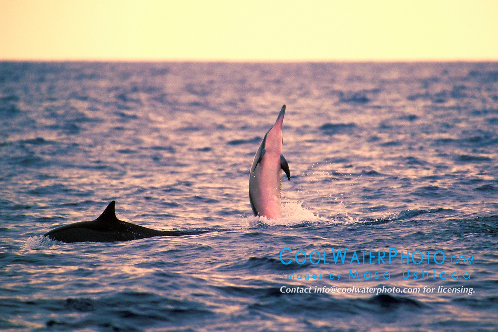 Long-snouted Spinner Dolphin, jumping at sunset, Stenella longirostris, Big Island, Hawaii, Pacific Ocean