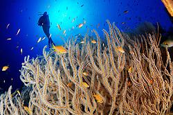 Subergorgia sp., Korallenriff mit Gorgonie und Taucher unter Wasser, Coral Reef with Gorgonian and Scuba diver, Under water, Hurghada, Insel Giftun Riff, Rotes Meer, Ägytpen, Giftun Island Reef, Red Sea, Egypt