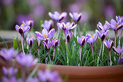 Crocus chrysanthus 'Spring Beauty' syn. Crocus minimus growing in a terracotta pot.